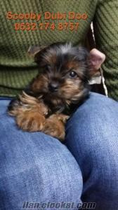 teacup yorkshire terrier satılık yavru