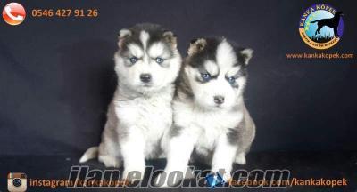 Satılık Sibirya Kurdu Yavruları Kanka Köpek