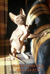 sfenks (sphynx) satılık kedi