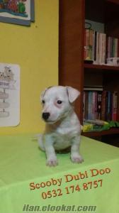 Jack russell terrier satılık yavru