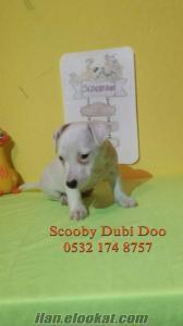 jack russell terrier satılık yavruları