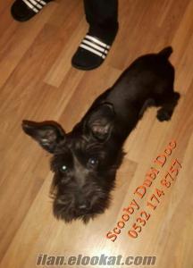 satılık schnauzer minyatür köpeği