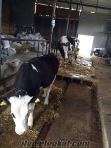 Satılık safkan simental 1 yaşında düve ve 3 yaşında hamile inek