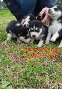 husky yavruları satılık