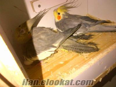 bursa hazır sultan papağanı takımları