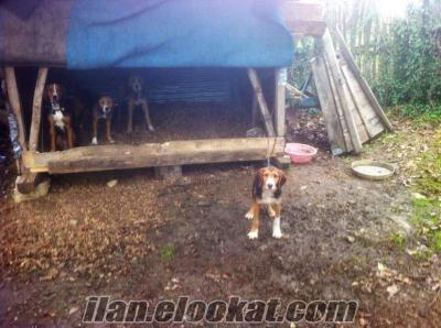sakaryada sahibinden satılık tavşan, tilki, çakal, barak av köpekleri.