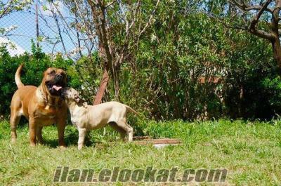 satılık presa canario yavruları
