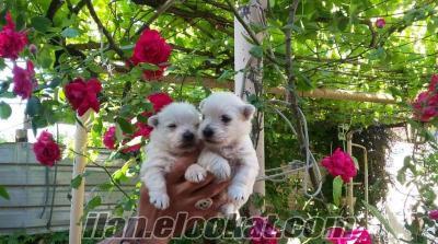 satılık west highland white terrier yavruları