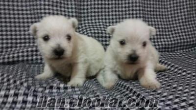 satılık west highland white terrier yavrular