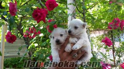 west highland white terrier yavruları