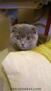 Yüksek kaliteli Scottish Fold dişi yavru ev kedisi