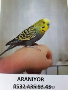 Ankara sokulluda muhabbet kuşum kayboldu 28 Nisan 2016 da resimdeki muhabbet