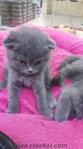istanbulda satılık scottish fold kedisi bebek leri
