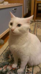 Van kedisi kızımıza eş arıyoruz