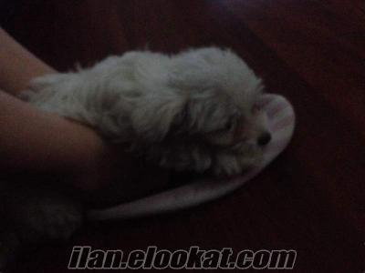 Satilik maltese terrier 0 boy 2 aylık safkan