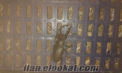 9 cm boyunda... Geyik böceği...Canlı.. Acil satılık