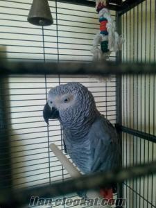 cimbomlu jako papağanı