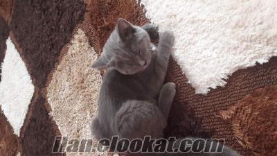 izmirden satılık evcil kedi orjinal british shorthair..
