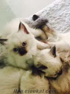 Sempatiklik abidesi safkan Sibirya kedilerimiz yeni yuvalarını arıyor.