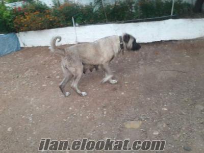 safkan acil satılık kangal ve yavruları