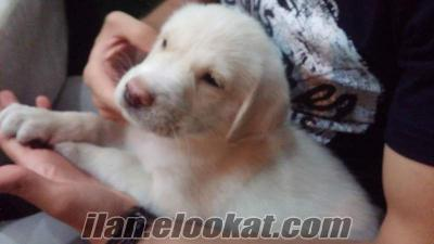 Istanbulda bir aylik yavru labrador