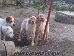 istanbul arnavutköyde sahibinden satılık av köpekleri ilgililerin dikkatine