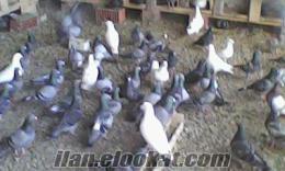 satılık posta güvercinleri güversinim