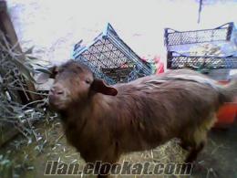 keçiler satılık acill
