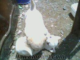 izmir ve çevresi satılık 0 nuumara beyaz erkek fino yavru köpek