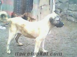 malaklı köpekler satlık
