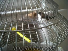 Bir cift Altin Goguslu Mumgaga(Golden Breasted Waxbill), bir cift Bengal Ispinoz