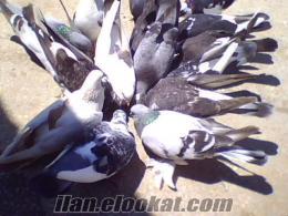 Antalyadan 27 atne satılık güvercinler