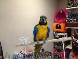 Şişlide satılık macaw