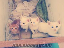 Van kedisi kırması henüz 1, 5 aylık bembeyaz kediler