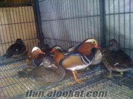 mandarin ördekleri full renkli hollanda ithalatı