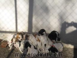 Kızılcahamamda vural av köpekleri