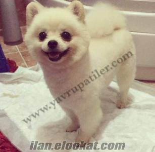 Satılık Safkan Irk Pomeranian