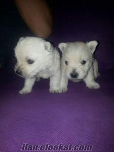 satılık west highland white terrier
