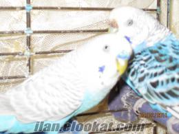 sahibinden çift muhabet kuşu
