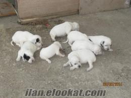 satılık yavru ingiliz setter av köpekleri