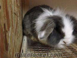 damızlık gebe 2 dişi 1 erkek aslanbaş lop tavşanı