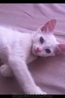 antalyada sahibinden satılık 5 aylık ankara kedisi fiyatı görüşülür