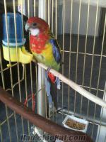 kafesiyle birlikte satılık rozella papaganı