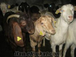 satılık keçi sütü