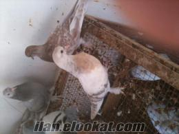 bodrumda satılık taklacı oyunlu kuşlar
