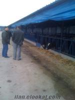 simental ve montofon ırkı inekler