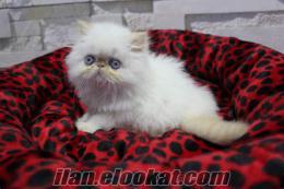 iran kedisi satılık