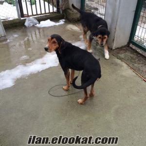 satılık muayer 2 adet domuz köpekleri
