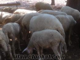 istanbulda sahibinden satılık 20 gebe koyun 1 adet koç