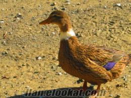 satılık ördekler ve brahmalar